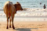 goa, indija, ceļojums uz indiju, govs, indijas govs,